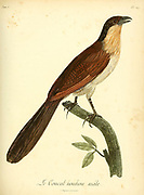 Male Coucal houhou A coucal is one of about 30 species of birds in the cuckoo family. All of them belong in the subfamily Centropodinae and the genus Centropus. Unlike many Old World cuckoos, coucals are not brood parasites, from the Book Histoire naturelle des oiseaux d'Afrique [Natural History of birds of Africa] Volume 5, by Le Vaillant, Francois, 1753-1824; Publish in Paris by Chez J.J. Fuchs, libraire 1799