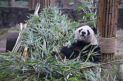 DUJIANGYAN, Dec. 21, 2016  Photo taken on Dec. 21, 2016 shows aged giant panda ''Ying Ying'' at the Dujiangyan Base of China Conservation and Research Center for the Giant Panda in southwest China's Sichuan Province. There are eight giant pandas above 20 living at the Dujiangyan base. The Dujiangyan base, which undertakes the work of disease control and prevention for pandas, also acts as a nursing home for aged pandas.  lfj) (Credit Image: © Xue Yubin/Xinhua via ZUMA Wire)