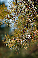 Closeup of pine needles
