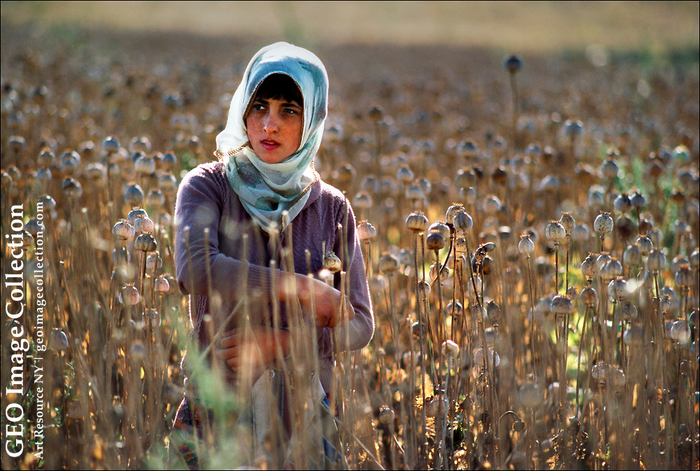 A young farm woman cradles dried opium poppies in a field near Afyon, Turkey.  Along with India and Australia, Turkey legally cultivates the opium poppies (Papaver Somniferum)  under United Nations supervision to produce pain relievers as morphine and codeine, as well as oils and seeds for domestic uses.