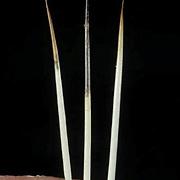 Porcupine, (Erethizon dorsatum) Close up of quills.  Captive Animal.