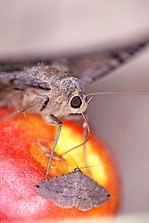 Black Witch Moth Eating Fruit