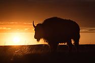 A bison at sunrise, Badlands National Park