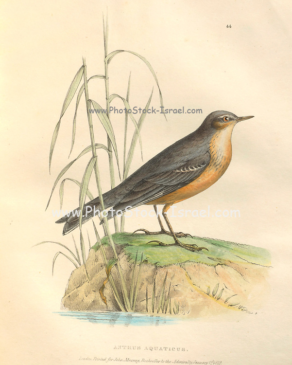 water pipit (Anthus aquaticus) color plate of North American birds from Fauna boreali-americana; or, The zoology of the northern parts of British America, containing descriptions of the objects of natural history collected on the late northern land expeditions under command of Capt. Sir John Franklin by Richardson, John, Sir, 1787-1865 Published 1829