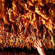A man reaches to touch drying tobacco as it hangs in a tobacco barn in the Vinales Valley, in the Pinar del Rio Province of Cuba. The Viñales Valley has been on UNESCO?s World Heritage List since November 1999 as a cultural landscape enriched by traditional farm and village architecture. Old-fashioned farming methods are still used in Viñales, notably to grow tobacco..