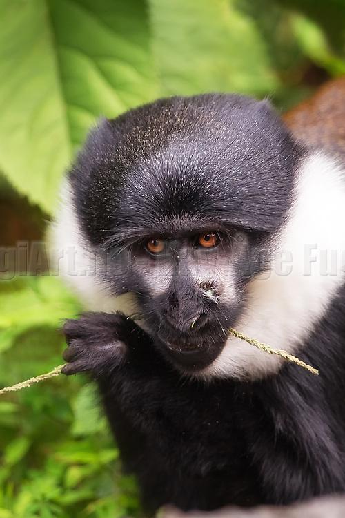 Mountain Monkey with a vound in the nose, eating on a straw   Apekatt med sår i nesa, som spiser på et strå.