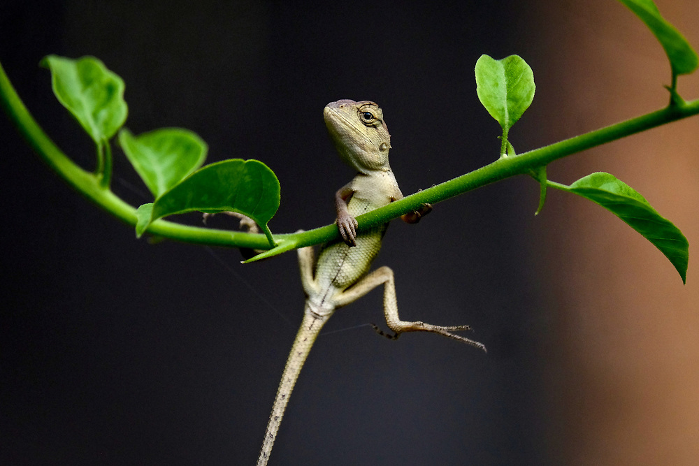 Cambodia. Small Gecko hanging on a Bougainvillea branch. Photo by Lorenz Berna