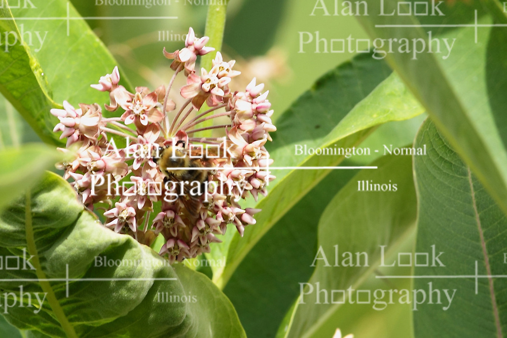 18 July 2015:   A honey bee looks for pollen on the flower of a milk weed.