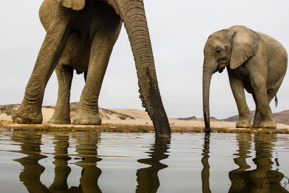 Wide angle perspective of desert-dwelling elephants (Loxodonta africana) drinking from an artificial desert water hole , Skeleton Coast, Namibia,Africa