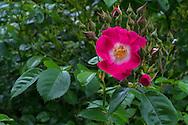 "Rambler Rose ""American Pillar"" buds and flowers"
