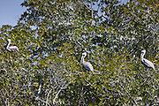 Brown pelicans perched in a tree in the Everglades, Florida, United States of America