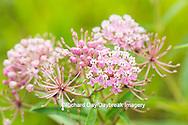 63899-05408 Swamp Milkweed (Asclepias incarnata), Marion Co., IL