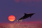 Hawaiian spinner dolphin, or nai'a, Stenella longirostris longirostris, aka Gray's or long-snouted spinner dolphin, jumping at sunset, Kona, Hawaii, USA ( Central Pacific Ocean )
