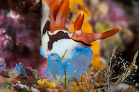 A Nembrotha Nudibranch feeds upon a tunicate.<br /> <br /> Shot in Indonesia