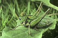Wartbiter Bush Cricket - Decticus verrucivorus