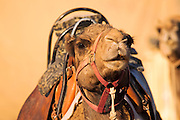 Israel, Negev Desert, close up of an Arabian camel (Camelus dromedarius)