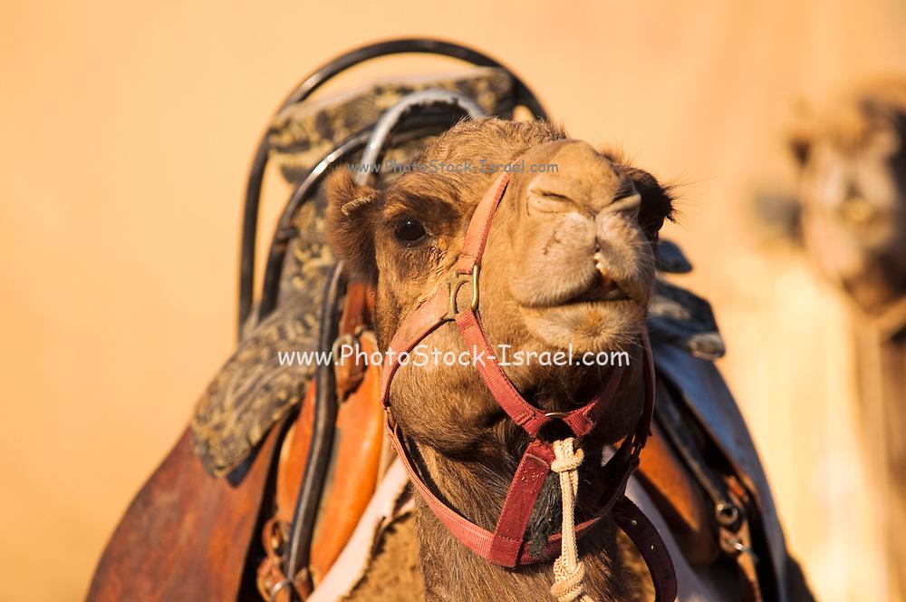 Israel, Negev Desert, close up of an Arabian camel (Camelus dromedarius)
