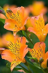 Alstroemeria 'Orange Supreme''
