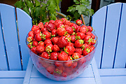 Fresh picked strawberries from Sauvie Island, Oregon
