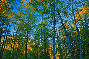 Boreal forrest at West Blue Lake<br />Duck Mountain Provincial Park<br />Manitoba<br />Canada