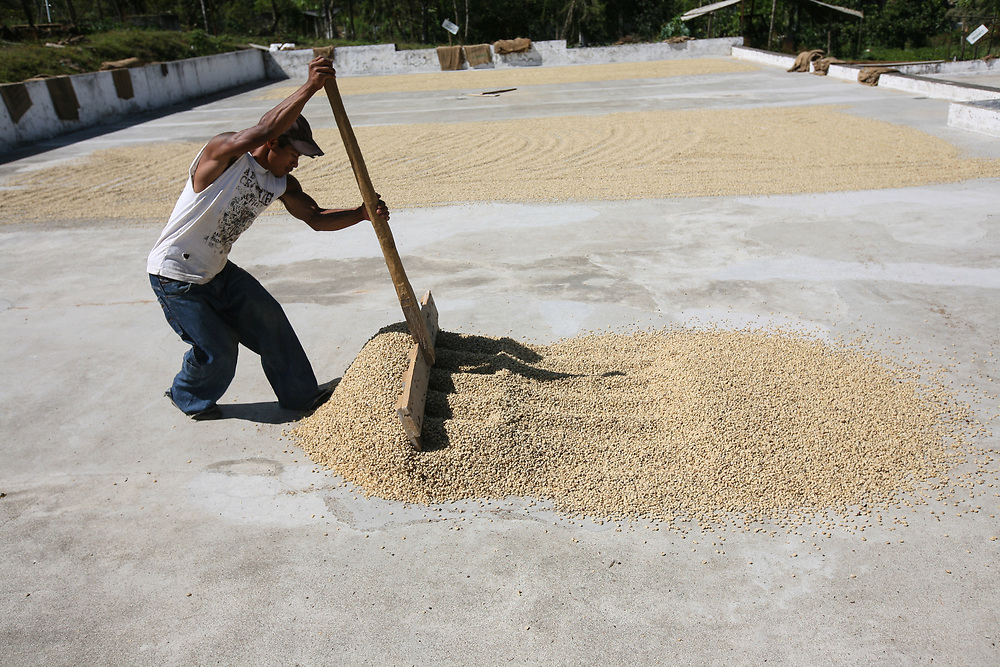 Parchment coffee is spread on the drying patio at Rio Azul coop. Rio Azul Cooperative is a Fairtrade-certified coffee producer based in Jacaltenango, Huehuetenango, Guatemala.