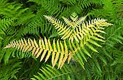 A fern growing wild in France