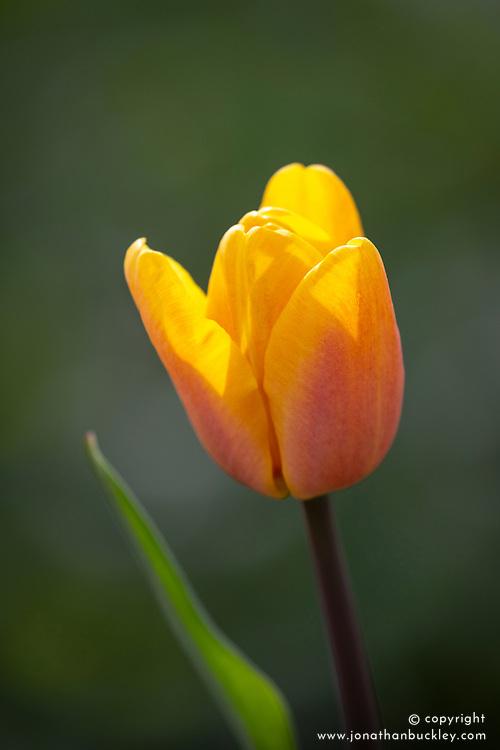 Tulipa 'Bellville'