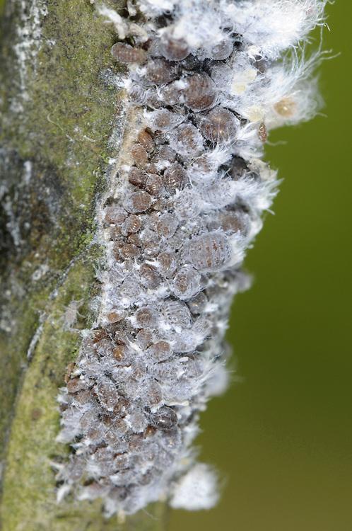 Woolly Aphid - Eriosoma lantigerum
