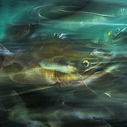 Pink Salmon (Oncorhynchus gorbuscha) rush up river to spawn before they die. Image made on Vancouver Island, BC, Canada.