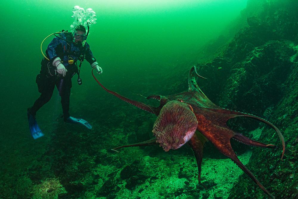 A giant pacific octopus (Enteroctopus dofleini) hunts for food in Nanoose Bay, Vancouver Island, Canada. Giant pacific octopus (Enteroctopus dofleini) in Nanoose bay, Vancouver Island, British Columbia, Canada.