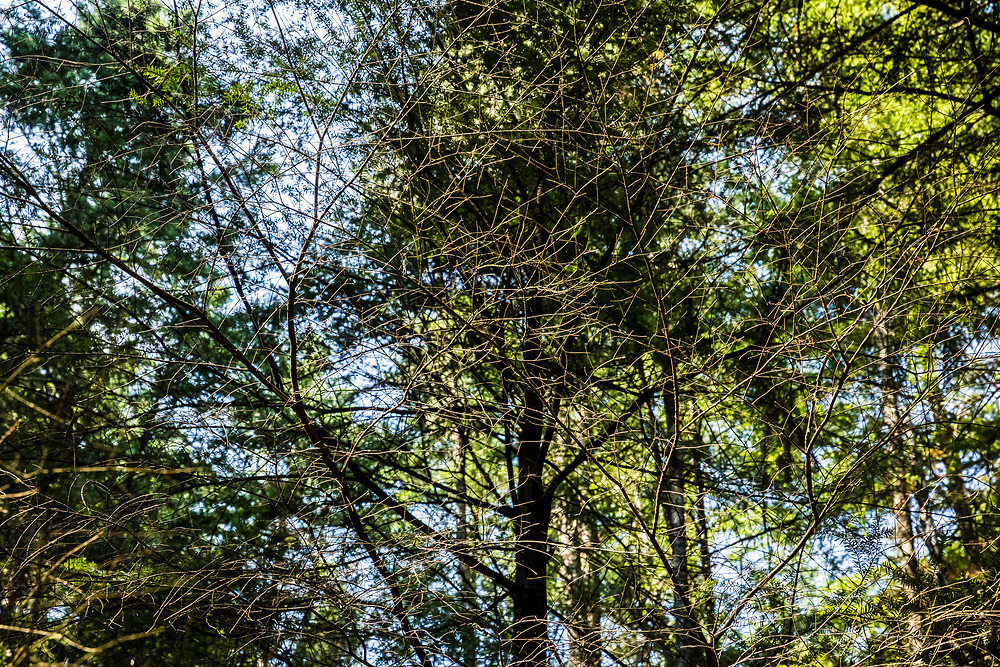 Details of the fine tree branches in the forest along the Twin Lakes Trail in Moran State Park, Orcas Island, Washington, USA.