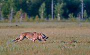 Grey Wolf (Canis lupus lupus) running with prey. Finland, August 2015.