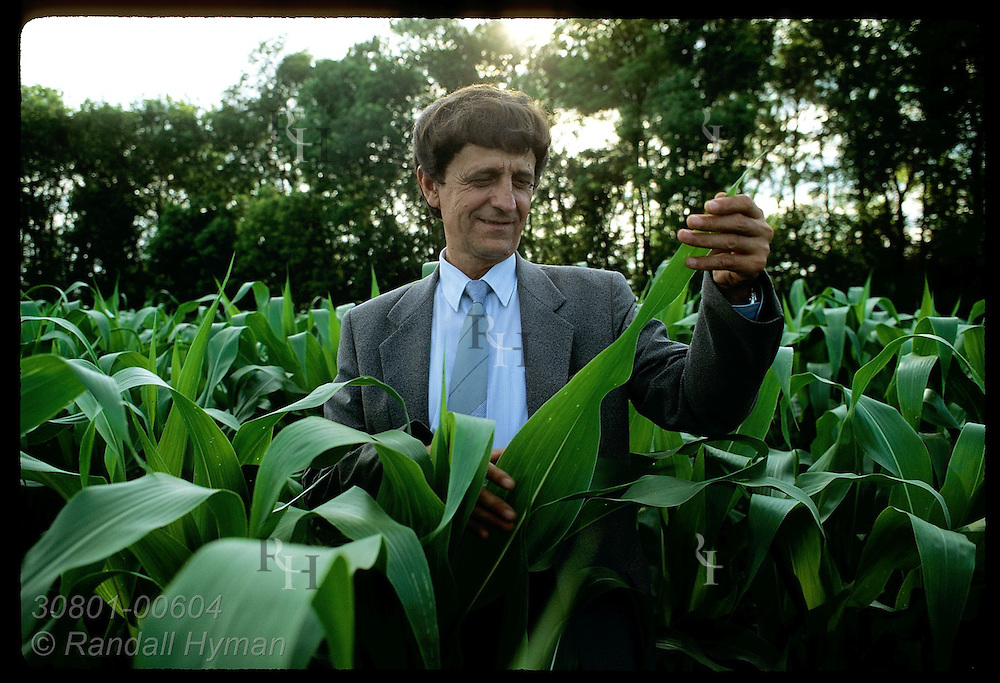 Director Anatoly Martinov examines healthy leaves of corn stalks in eve at Beshevsky farm;Donetsk Ukraine