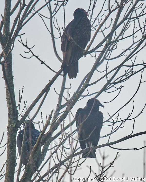 Turkey Vulture, Black Vulture. Image taken with a Nikon D850 camera and 600 mm f/4 VR lens