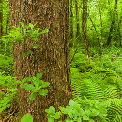 Ferns in the forest at a Wildlands Trust preserve in Brockton, Massachusetts.
