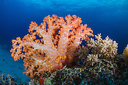 Soft Coral (Nephtheidae)<br /> Cenderawasih Bay<br /> West Papua<br /> Indonesia
