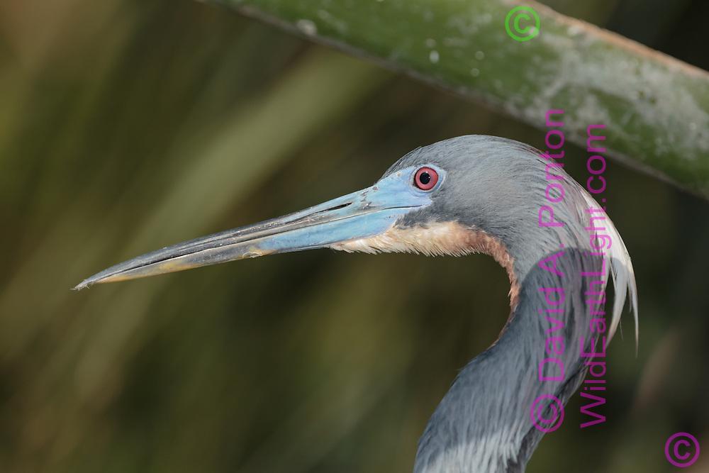 Tri-colored heron portrait with wetland vegetation, Florida, © David A. Ponton