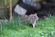 United Kingdom; Tuesday 23 February 2021: <br /> Brown rat (Rattus norvegicus).<br /> Copyright 2021 Peter Horrell