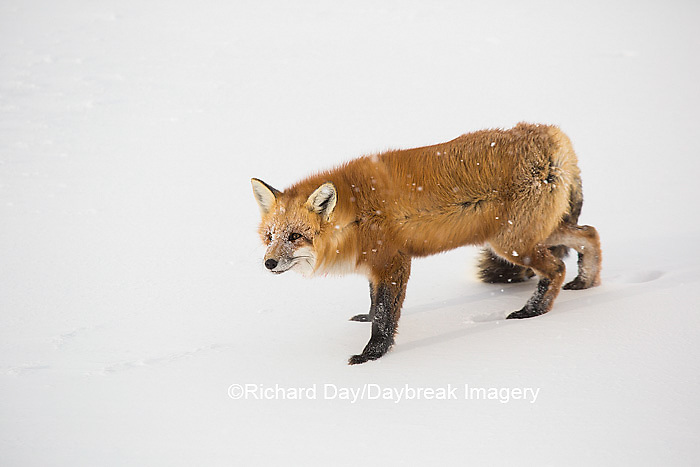 01871-02913 Red Fox (Vulpes vulpes) at Cape Churchill, Wapusk National Park, Churchill, MB