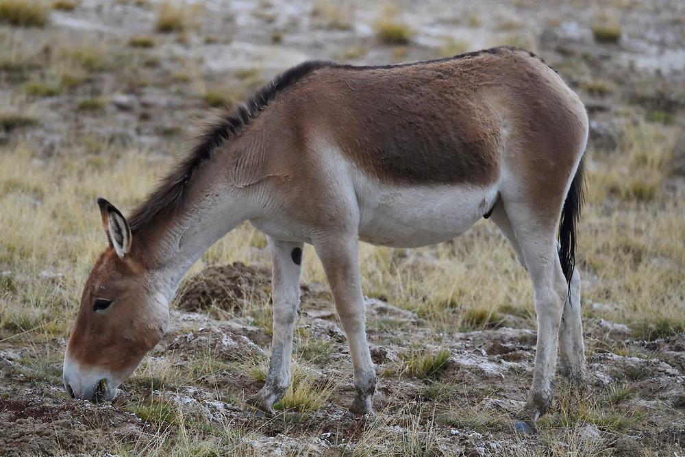 Close to Kiang (Equus kiang), or Asian Wild Ass standing in the wetlands near Madoa, Tibetan Plateau, Qinghai, China