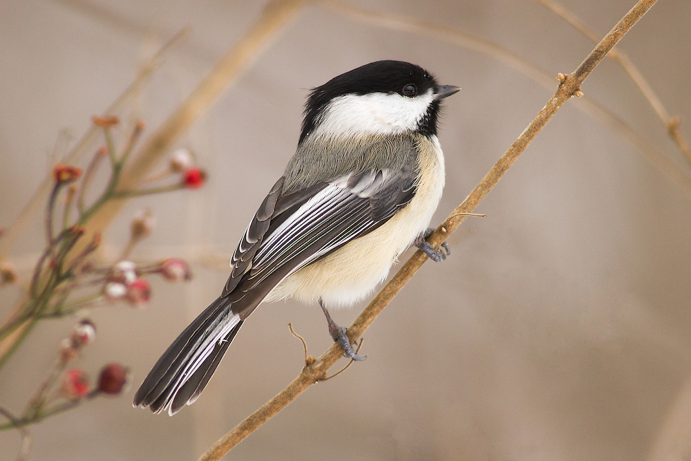 """Black capped Chickadee<br /> <br /> Available sizes:<br /> 12"""" x 18"""" print <br /> <br /> See Pricing page for more information. Please contact me for custom sizes and print options including canvas wraps, metal prints, assorted paper options, etc. <br /> <br /> I enjoy working with buyers to help them with all their home and commercial wall art needs."""