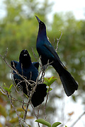 Boat Tailed Grackle, Quiscalus major, Florida Everglades, USA, male, pair in tree