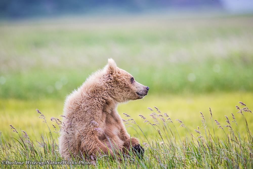 A brown bear (Ursus acrtos) cub plays in the summer sunshine at Katmai National Park
