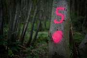 The number 5 has been sprayed in aerosol on to tree bark to identify their location in an English wood. As part of a practice in forestry to identify boundaries or specific trees in an orchard or wood, the landowner or manager has made the location easily found using the bright pink colours.