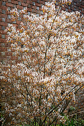 The blossom of Amelanchier lamarckii AGM - Snowy mespilus, Juneberry