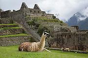Llama, Machu Picchu, Cusco Region, Urubamba Province, Machupicchu District, Peru