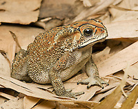 Black-spined toad, Duttaphrynus melanostictus. Often mis-identified as cane toad, Rhinella marina or Bufo marinus, a species common to Australia and New Guinea but undocumented in Timor-Leste.  Ermera District, Timor-Leste (East Timor)