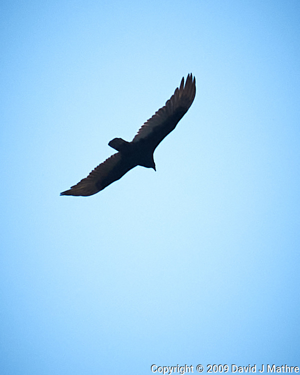 Turkey Vulture. Image taken with a Nikon D300 camera and 18-200 mm lens.