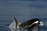 Orca, or killer whale, Orcinus orca, surfacing<br /> King Bank, New Zealand<br /> ( South Pacific Ocean )