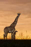 Lady Giraffe takes a maternal pause with her newborn of just three hours on this beautiful golden morning in the Maasai Mara, Kenya.